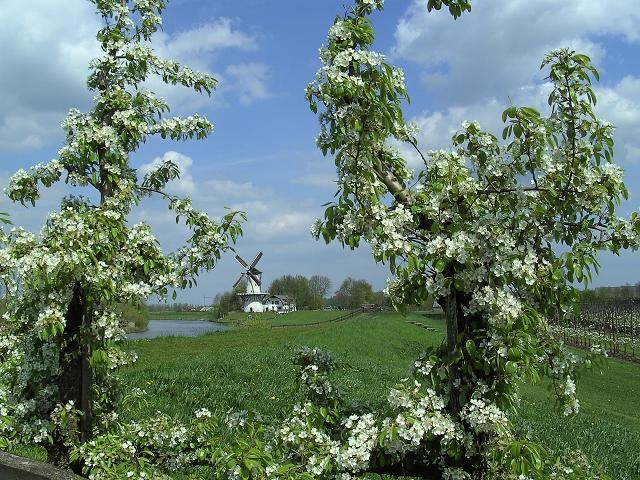 Fruitboom Betuwe